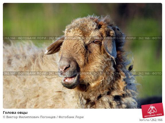 Голова овцы, фото № 262166, снято 27 апреля 2005 г. (c) Виктор Филиппович Погонцев / Фотобанк Лори