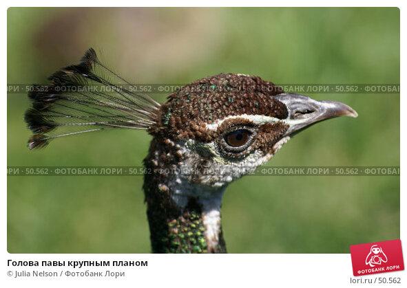 Купить «Голова павы крупным планом», фото № 50562, снято 3 июня 2007 г. (c) Julia Nelson / Фотобанк Лори