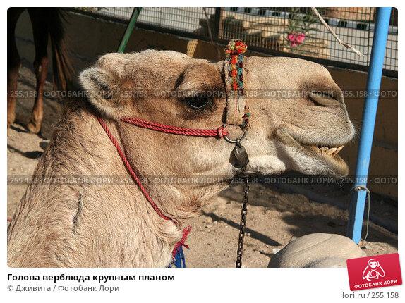 Голова верблюда крупным планом, фото № 255158, снято 6 января 2008 г. (c) Дживита / Фотобанк Лори