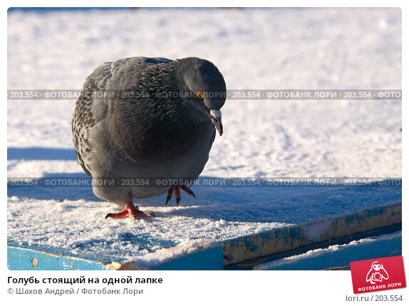 Голубь стоящий на одной лапке, фото № 203554, снято 7 февраля 2008 г. (c) Шахов Андрей / Фотобанк Лори