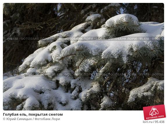 Голубая ель, покрытая снегом, фото № 95438, снято 26 января 2007 г. (c) Юрий Синицын / Фотобанк Лори