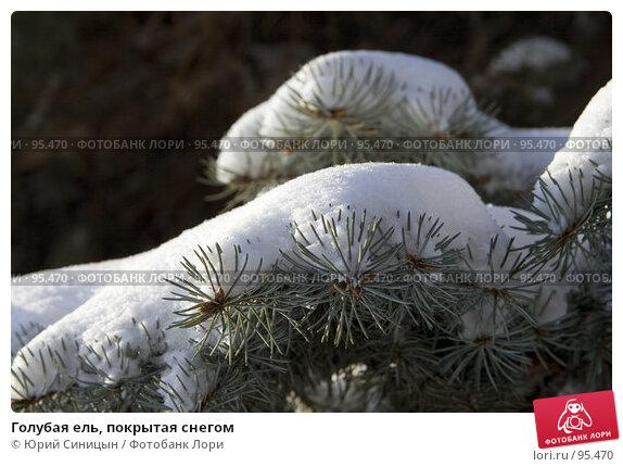 Голубая ель, покрытая снегом, фото № 95470, снято 26 января 2007 г. (c) Юрий Синицын / Фотобанк Лори
