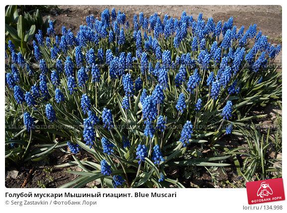 Купить «Голубой мускари Мышиный гиацинт. Blue Muscari», фото № 134998, снято 22 мая 2006 г. (c) Serg Zastavkin / Фотобанк Лори