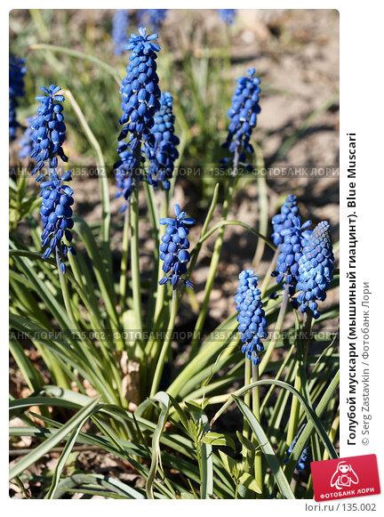 Голубой мускари (мышиный гиацинт). Blue Muscari, фото № 135002, снято 31 мая 2006 г. (c) Serg Zastavkin / Фотобанк Лори