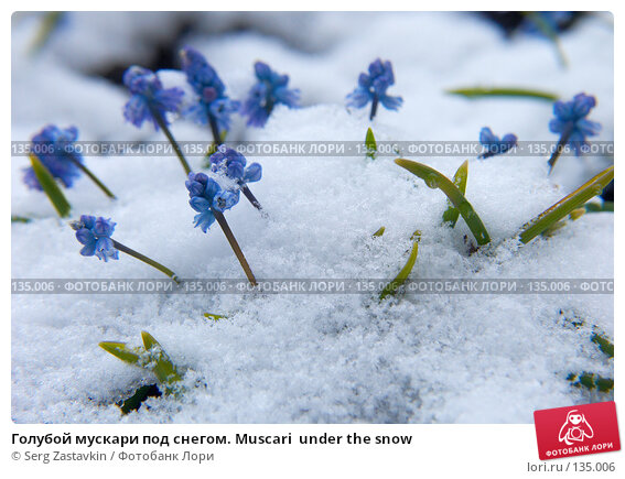 Голубой мускари под снегом. Muscari  under the snow, фото № 135006, снято 2 мая 2006 г. (c) Serg Zastavkin / Фотобанк Лори