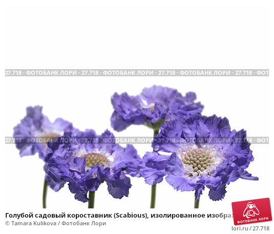 Голубой садовый короставник (Scabious), изолированное изображение на чистом белом фоне, под нижний обрез, фото № 27718, снято 15 июля 2006 г. (c) Tamara Kulikova / Фотобанк Лори