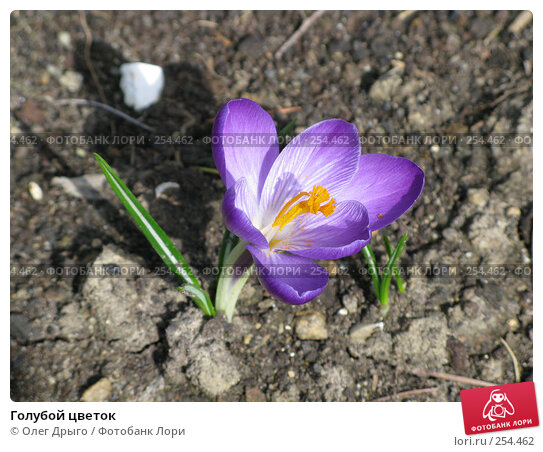 Голубой цветок, фото № 254462, снято 8 марта 2008 г. (c) Олег Дрыго / Фотобанк Лори