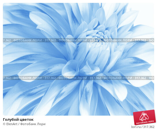 Голубой цветок, фото № 317362, снято 6 декабря 2016 г. (c) ElenArt / Фотобанк Лори