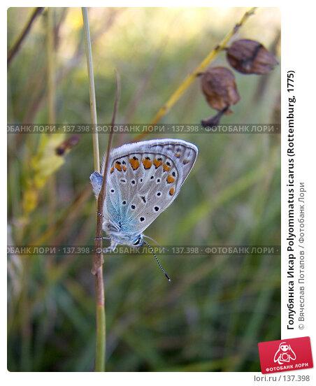 Голубянка Икар Polyommatus icarus (Rottemburg, 1775), фото № 137398, снято 8 августа 2007 г. (c) Вячеслав Потапов / Фотобанк Лори