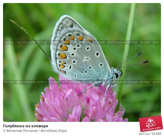 Голубянка на клевере, фото № 10850, снято 11 августа 2004 г. (c) Вячеслав Потапов / Фотобанк Лори