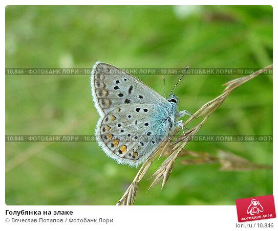 Голубянка на злаке, фото № 10846, снято 11 августа 2004 г. (c) Вячеслав Потапов / Фотобанк Лори