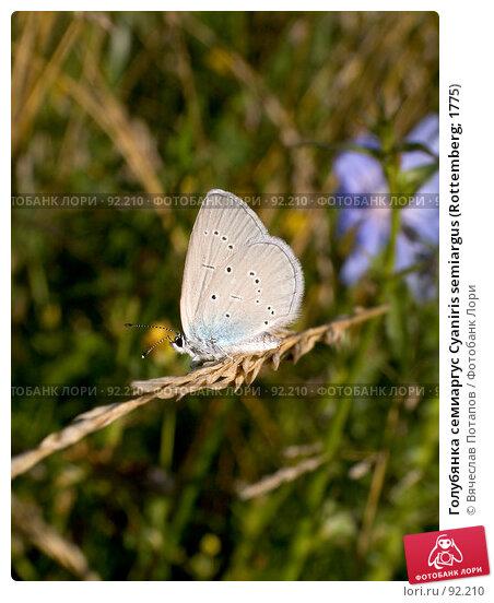 Голубянка семиаргус Cyaniris semiargus (Rottemberg; 1775), фото № 92210, снято 17 июля 2007 г. (c) Вячеслав Потапов / Фотобанк Лори