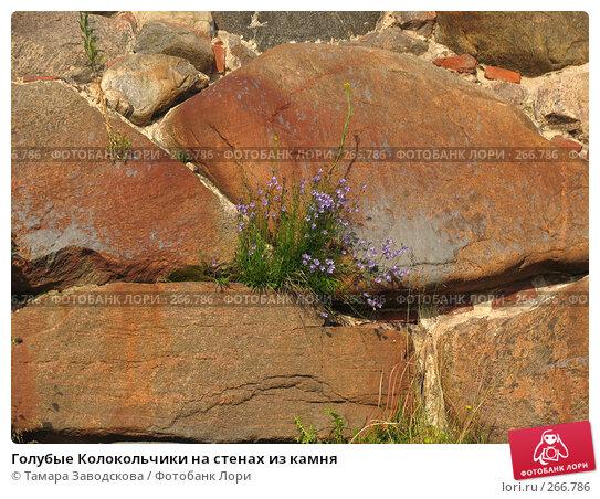 Голубые Колокольчики на стенах из камня, эксклюзивное фото № 266786, снято 10 июля 2007 г. (c) Тамара Заводскова / Фотобанк Лори