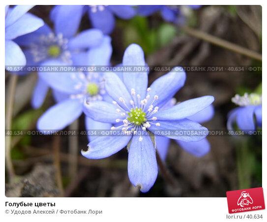 Голубые цветы, фото № 40634, снято 18 апреля 2007 г. (c) Удодов Алексей / Фотобанк Лори