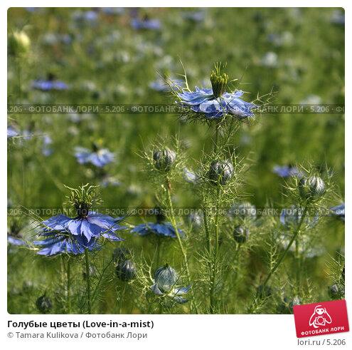 Голубые цветы (Love-in-a-mist), фото № 5206, снято 1 июля 2006 г. (c) Tamara Kulikova / Фотобанк Лори