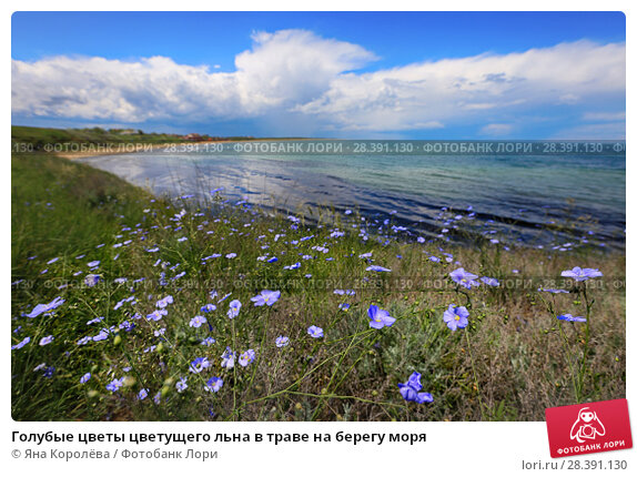 Купить «Голубые цветы цветущего льна в траве на берегу моря», фото № 28391130, снято 19 мая 2017 г. (c) Яна Королёва / Фотобанк Лори