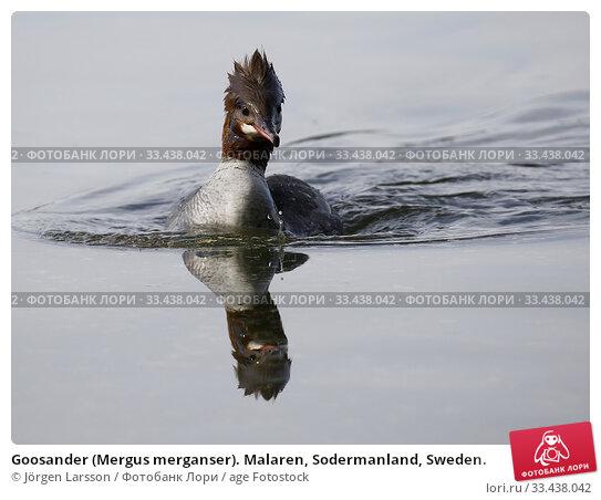 Купить «Goosander (Mergus merganser). Malaren, Sodermanland, Sweden.», фото № 33438042, снято 23 мая 2019 г. (c) age Fotostock / Фотобанк Лори