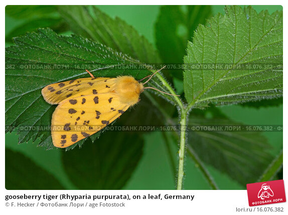 Купить «gooseberry tiger (Rhyparia purpurata), on a leaf, Germany», фото № 16076382, снято 7 июня 2014 г. (c) age Fotostock / Фотобанк Лори