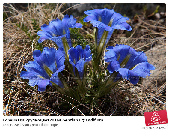 Горечавка крупноцветковая Gentiana grandiflora, фото № 134950, снято 30 июня 2006 г. (c) Serg Zastavkin / Фотобанк Лори