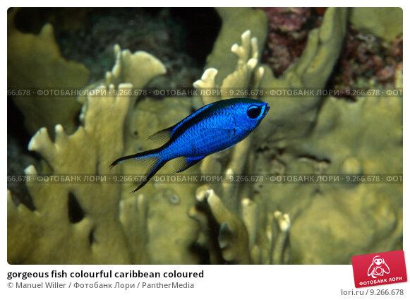 Купить «gorgeous fish colourful caribbean coloured», фото № 9266678, снято 23 марта 2019 г. (c) PantherMedia / Фотобанк Лори