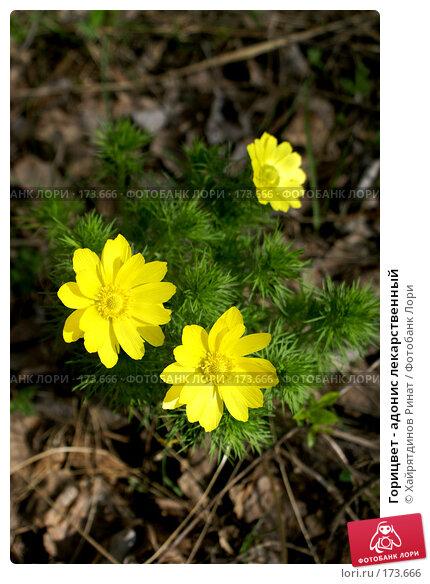 Горицвет - адонис лекарственный, фото № 173666, снято 18 мая 2007 г. (c) Хайрятдинов Ринат / Фотобанк Лори