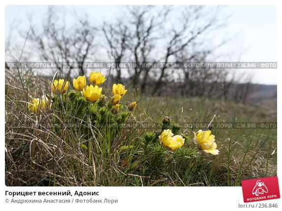 Горицвет весенний, Адонис, фото № 236846, снято 30 апреля 2006 г. (c) Андрюхина Анастасия / Фотобанк Лори