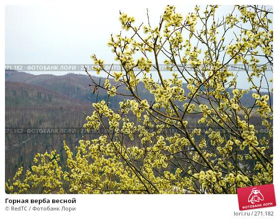 Горная верба весной, фото № 271182, снято 2 мая 2008 г. (c) RedTC / Фотобанк Лори