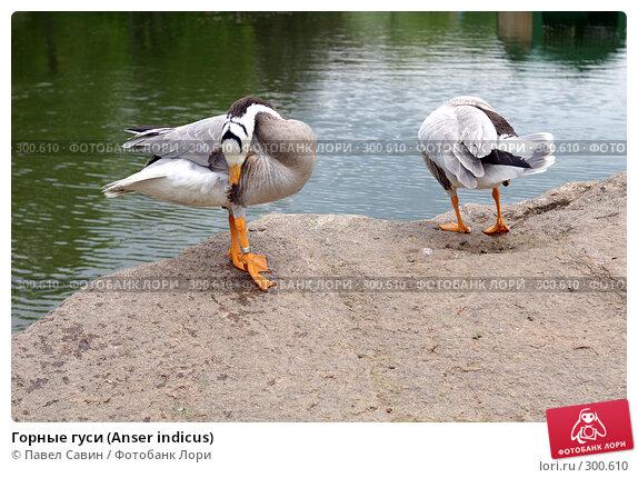Горные гуси (Anser indicus), фото № 300610, снято 4 мая 2008 г. (c) Павел Савин / Фотобанк Лори