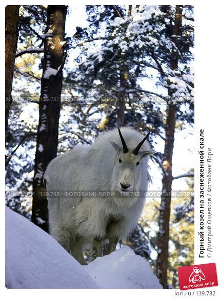 Горный козел на заснеженной скале, фото № 139782, снято 16 января 2007 г. (c) Дмитрий Ощепков / Фотобанк Лори