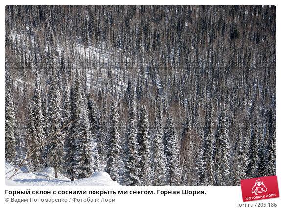 Купить «Горный склон с соснами покрытыми снегом. Горная Шория.», фото № 205186, снято 17 февраля 2008 г. (c) Вадим Пономаренко / Фотобанк Лори