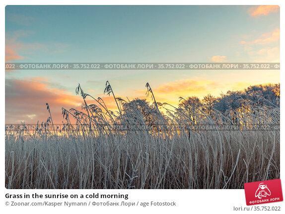 Grass in the sunrise on a cold morning. Стоковое фото, фотограф Zoonar.com/Kasper Nymann / age Fotostock / Фотобанк Лори