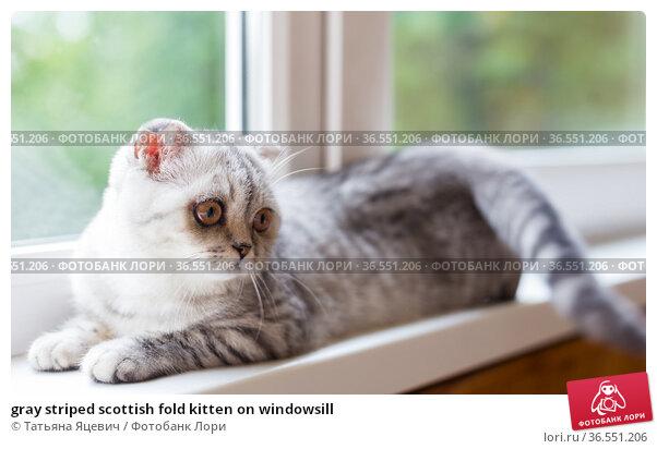 gray striped scottish fold kitten on windowsill. Стоковое фото, фотограф Татьяна Яцевич / Фотобанк Лори