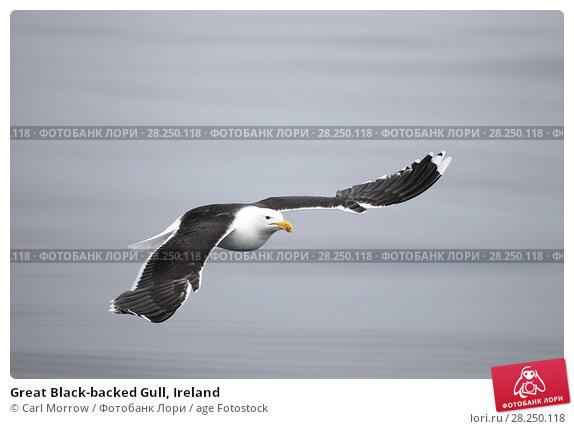 Купить «Great Black-backed Gull, Ireland», фото № 28250118, снято 12 мая 2017 г. (c) age Fotostock / Фотобанк Лори