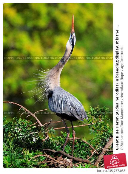 Great Blue Heron (Ardea herodias) in breeding display. It is the ... Стоковое фото, фотограф Zoonar.com/Don Mammoser / age Fotostock / Фотобанк Лори