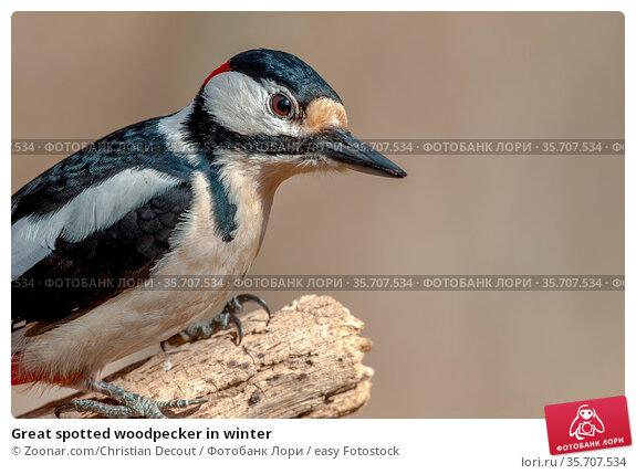 Great spotted woodpecker in winter. Стоковое фото, фотограф Zoonar.com/Christian Decout / easy Fotostock / Фотобанк Лори