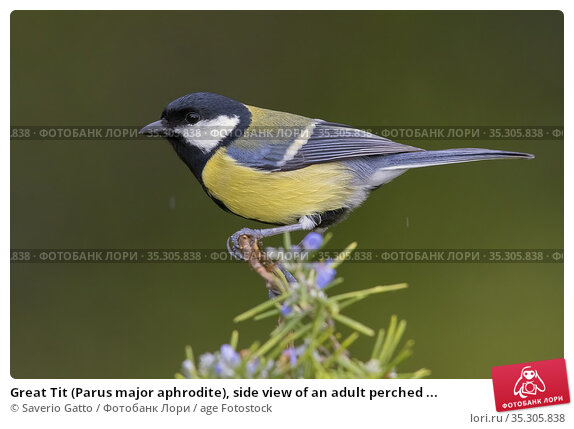 Great Tit (Parus major aphrodite), side view of an adult perched ... Стоковое фото, фотограф Saverio Gatto / age Fotostock / Фотобанк Лори