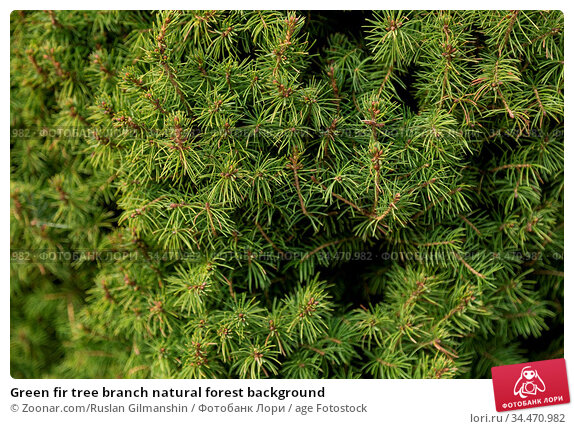 Green fir tree branch natural forest background. Стоковое фото, фотограф Zoonar.com/Ruslan Gilmanshin / age Fotostock / Фотобанк Лори