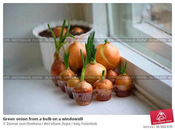 Green onion from a bulb on a windowsill. Стоковое фото, фотограф Zoonar.com/Svetlana / easy Fotostock / Фотобанк Лори