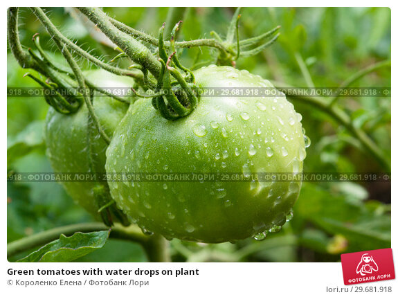 Купить «Green tomatoes with water drops on plant», фото № 29681918, снято 15 июля 2018 г. (c) Короленко Елена / Фотобанк Лори