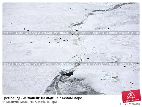 Гренландские тюлени на льдине в Белом море, фото № 230618, снято 11 марта 2008 г. (c) Владимир Мельник / Фотобанк Лори