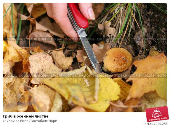 Гриб в осенней листве, фото № 120286, снято 7 октября 2007 г. (c) Vdovina Elena / Фотобанк Лори