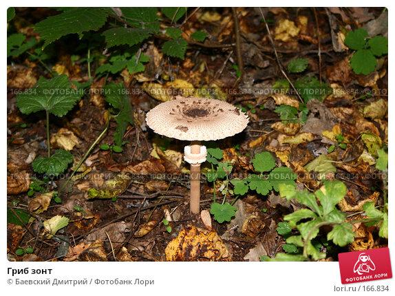 Купить «Гриб зонт», фото № 166834, снято 30 сентября 2007 г. (c) Баевский Дмитрий / Фотобанк Лори