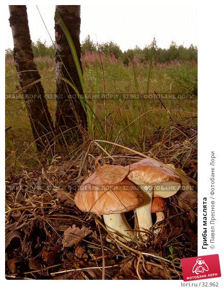 Грибы маслята, фото № 32962, снято 28 июля 2006 г. (c) Павел Преснов / Фотобанк Лори