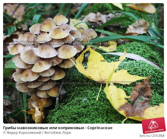 Грибы навозниковые или коприновые - Coprinaceae, фото № 215954, снято 4 октября 2003 г. (c) Федор Королевский / Фотобанк Лори