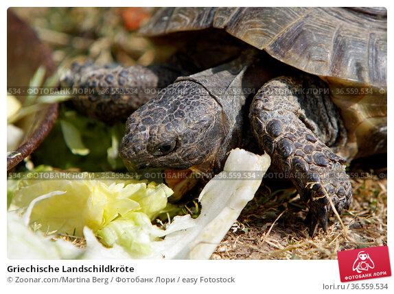 Griechische Landschildkröte. Стоковое фото, фотограф Zoonar.com/Martina Berg / easy Fotostock / Фотобанк Лори