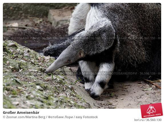 Großer Ameisenbär. Стоковое фото, фотограф Zoonar.com/Martina Berg / easy Fotostock / Фотобанк Лори