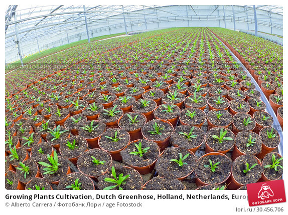 Growing Plants Cultivation, Dutch Greenhose, Holland, Netherlands, Europe. Стоковое фото, фотограф Alberto Carrera / age Fotostock / Фотобанк Лори
