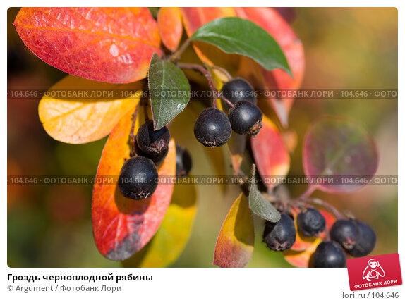 Гроздь черноплодной рябины, фото № 104646, снято 27 июля 2017 г. (c) Argument / Фотобанк Лори