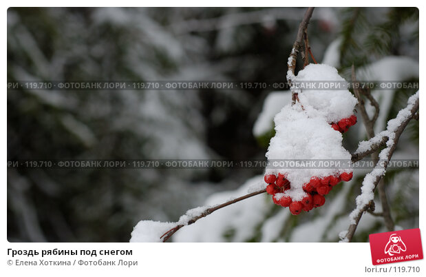 Гроздь рябины под снегом, фото № 119710, снято 23 июля 2017 г. (c) Елена Хоткина / Фотобанк Лори