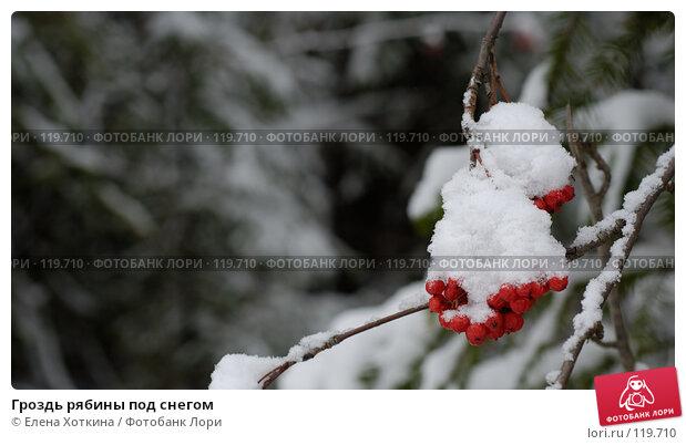 Гроздь рябины под снегом, фото № 119710, снято 28 октября 2016 г. (c) Елена Хоткина / Фотобанк Лори